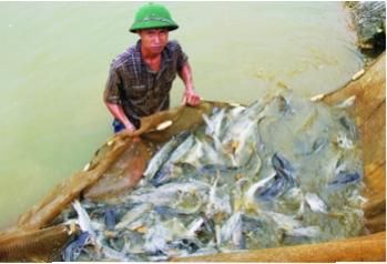 Cá lăng chấm nuôi thương phẩm trong ao nước chảy