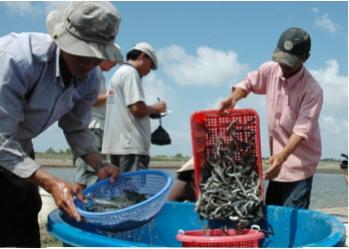 Nghiên cứu lại kỹ thuật để nuôi hiệu quả cá kèo