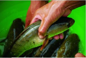 Từ thực tế nuôi cá lóc ở Trà Cú…