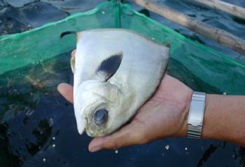 Hà Tĩnh: Nhiều tiềm năng từ nuôi cá chim vây vàng