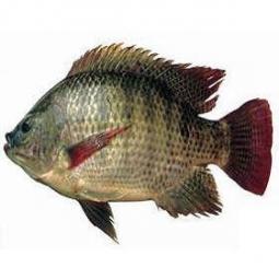 Bệnh liên cầu khuẩn trên cá rô phi và cá điêu hồng
