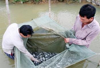 Lịch sử lai tạo và chọn giống cá rô phi
