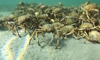 Hàng trăm nghìn con cua nhện phủ kín vùng biển Australia