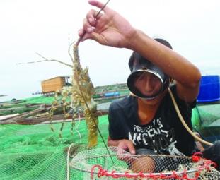 Phú Yên: Siết chặt quản lý nghề nuôi tôm hùm