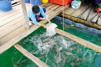 Kiên Giang: Phát triển nghề nuôi lồng bè ngoài đảo