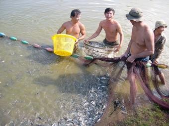 ĐBSCL: Cá tra giống sốt hàng