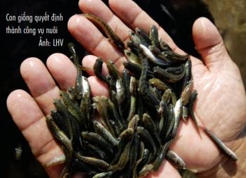 Kinh nghiệm nuôi cá lóc đầu nhím thương phẩm