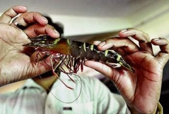 """Nhật Bản: """"Ông tổ"""" nghề sản xuất tôm giống"""