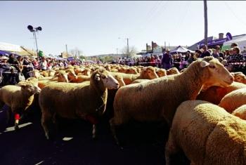 Lễ hội lông cừu có một không hai tại Australia