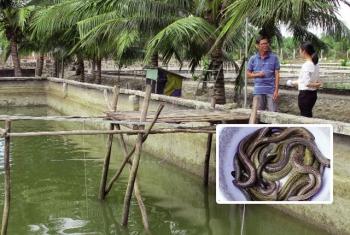 Bà Rịa - Vũng Tàu: Triển vọng nuôi cá chình xuất khẩu ở Suối Giàu
