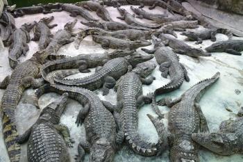 Giá cá sấu tăng mạnh, người nuôi có lãi