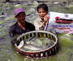 Nhiều mô hình nuôi cá rô phi thâm canh thành công