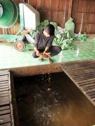 Nuôi cá điêu hồng lãi 9.000- 10.000 đ/kg