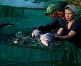 Thu hoạch cá nuôi trên cánh đồng Thanh Lam