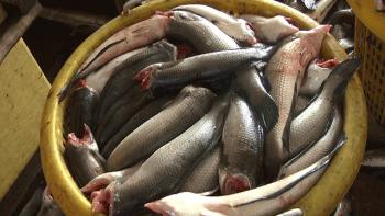 Đồng Tháp: Sản phẩm khô cá lóc đắt hàng