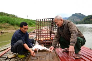 Bảo tồn, phát triển cá chiên thương phẩm