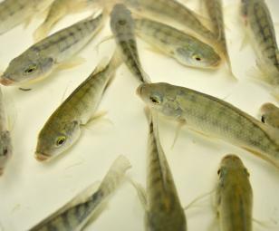 Trở ngại sản xuất giống cá rô phi
