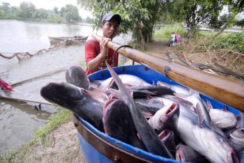 ĐBSCL: Giá cá tra giảm mạnh, người nuôi lỗ nặng