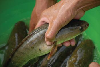 Kỹ thuật nuôi cá lóc thương phẩm