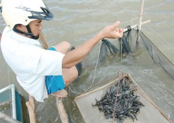 Giải pháp nâng cao chất lượng cá giống