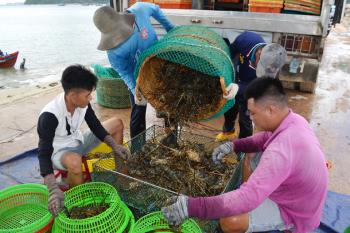 Phú Yên: Thị trường không ổn định, người nuôi tôm hùm gặp khó
