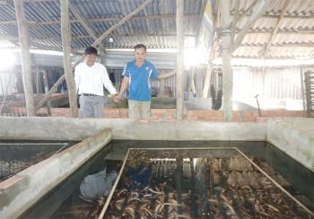 Lợi nhuận khủng từ nuôi lươn không bùn