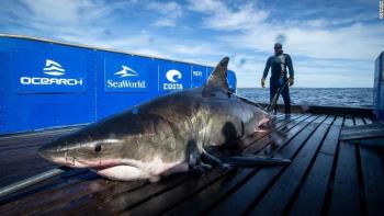 Phát hiện cá mập trắng khủng nặng gần 1 tấn bơi ngoài biển Florida