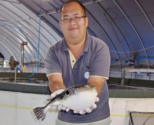 Nhật Bản: Nuôi cá nóc hổ bằng nguồn nước nóng tự nhiên