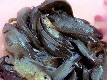 Lưu ý khi nuôi cá rô đồng trong ao