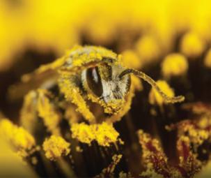 Phấn ong: Cải thiện màu sắc cá hồi