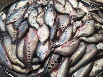 Vựa cá Đồng Tháp Mười