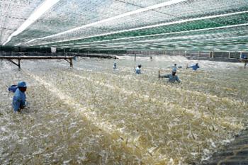 Vì một ngành tôm bền vững