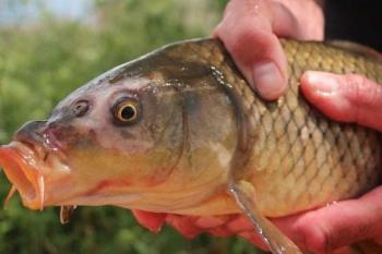 Bệnh KHV - rủi ro tiềm ẩn cho nghề nuôi cá chép