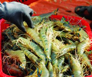 COVID-19 sẽ ảnh hưởng đến chuỗi cung ứng tôm vào những tháng hè
