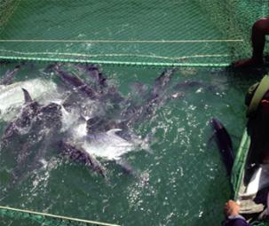 Thử nghiệm ương nuôi cá bè quỵt (Caranx ignobilis) giai đoạn ấu trùng  thành cá giống