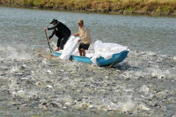 Ứng dụng công nghệ cao nuôi cá tra vượt qua khó khăn
