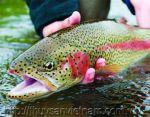 Sapa: Cá hồi thương phẩm tồn đọng do COVID-19