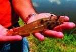 Mừng - lo ngành tôm Honduras