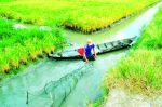 Lưu ý nuôi tôm trong ruộng lúa