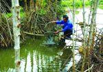 Cà Mau: Người dân góp đất nuôi tôm rừng
