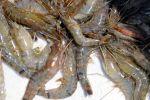 Cà Mau: Diện tích tôm nuôi bị dịch bệnh tăng