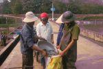Thái Nguyên: Sản xuất cá giống chất lượng cung cấp ra thị trường
