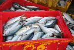 Ngư dân Thừa Thiên - Huế trúng đậm cá nục