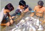 Sóc Trăng: Mô hình nuôi cá sặc rằn đạt hiệu quả cao ở Long Phú