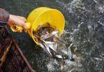 Hậu Giang: Thả 200.000 con cá tra giống được tiêm vắc-xin