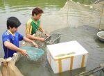 Bắc Ninh: Chủ động bảo vệ vùng nuôi thủy sản mùa bão