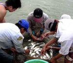 Hậu Giang: Giá cá thát lát cườm giảm kỷ lục