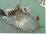 """Cá da trơn Mỹ: Tìm kiếm """"sự bền vững"""" và """"an toàn"""""""
