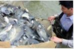 Hải Dương: Tập huấn điều trị bệnh ở cá rô phi