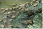 Phú Thọ: Nuôi ếch Thái Lan thương phẩm bằng lồng hở